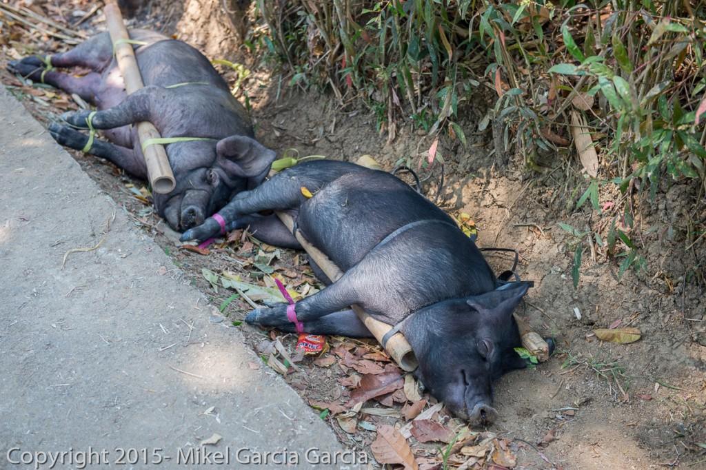 Cerdos esperando