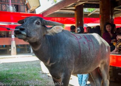 Bufalo ceremonia